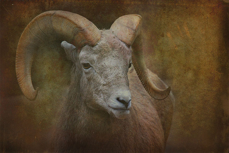 Bighorn_sheep_with_texture